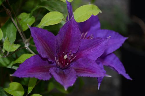 Clematis edda boulevard white flower farm oukasfo clematis white flower farm mightylinksfo