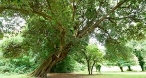 box-the-holm-oak-rostrevor-photo-by-michael-cooper-low-resolution